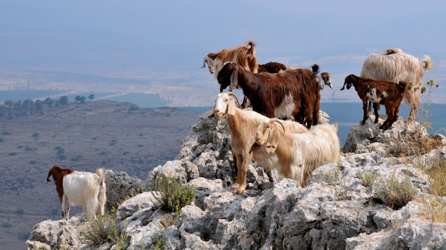 goats in Israel